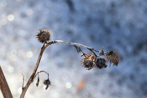 winter  thistle  nature