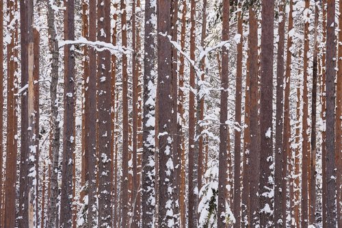 winter  forest  wood