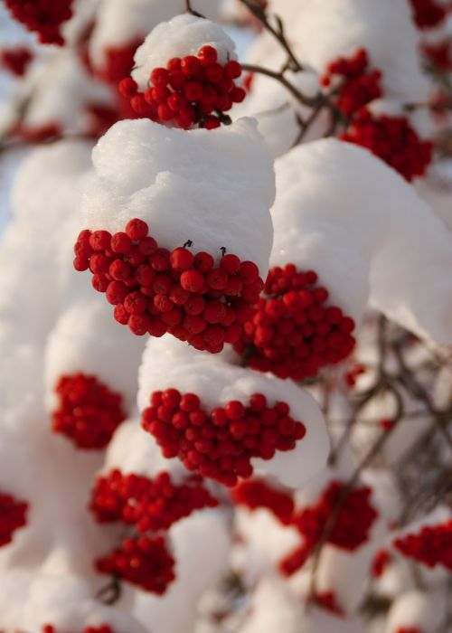 winter rowan berries nature