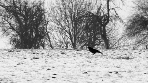winter crow cold