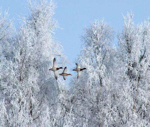 winter birds geese