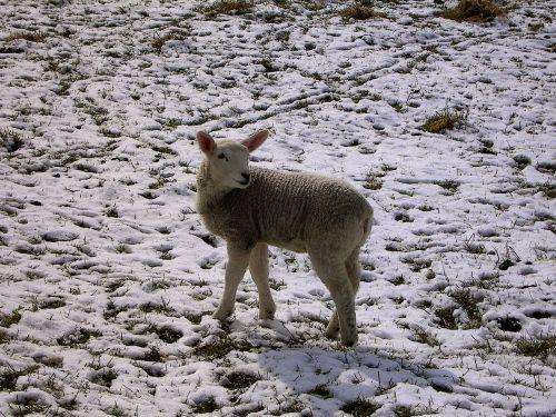winter lamb schäfchen