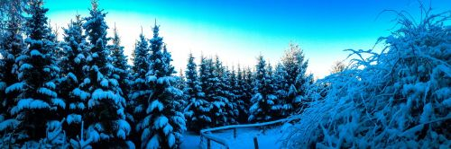 winter firs snowy
