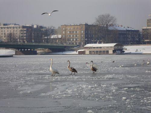 žiema,upė,ledas,užšalusi upė,vandens paukščiai,spacer