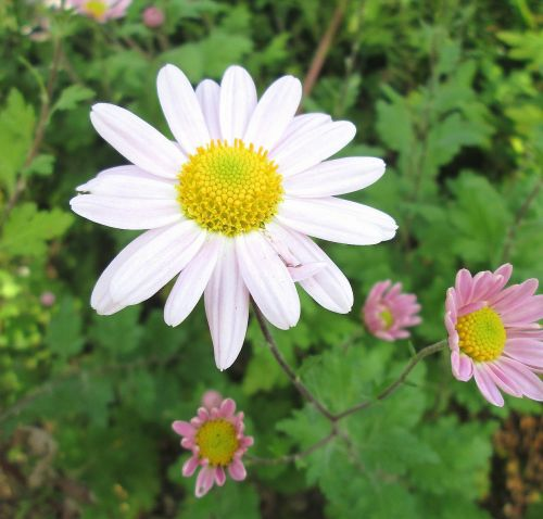 winter aster flower plant