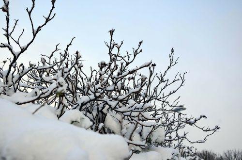 winter bushes bushes winter