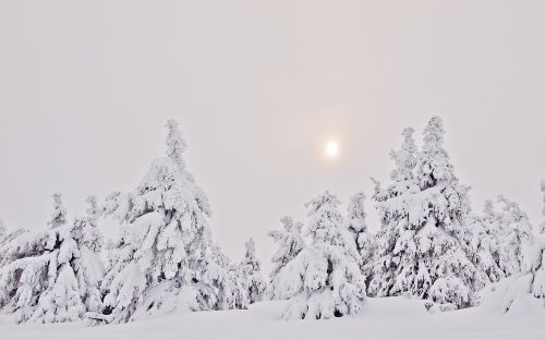winter forest snow firs