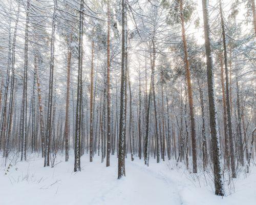 winter forest snow winter