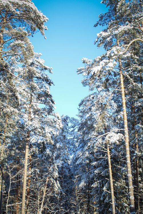 winter forest sky snow