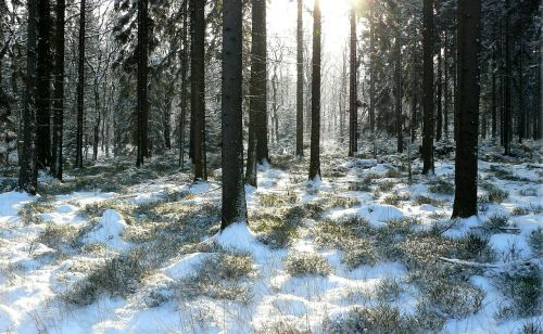 winter forest trees snowy