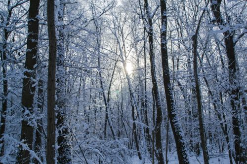 winter forest forest trees