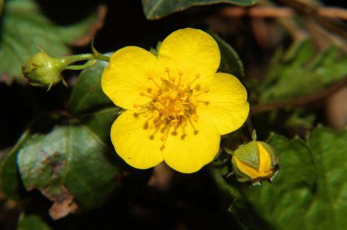 winter linge eranthis hyemalis early bloomer