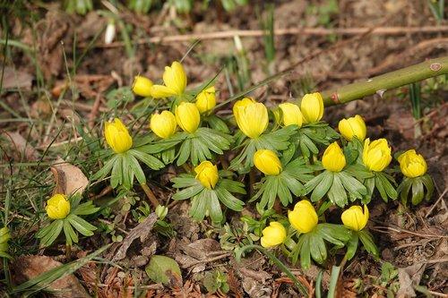 winter linge  flowers  plant