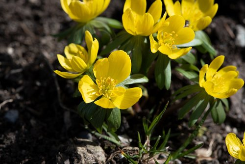 winter linge  flowers  yellow