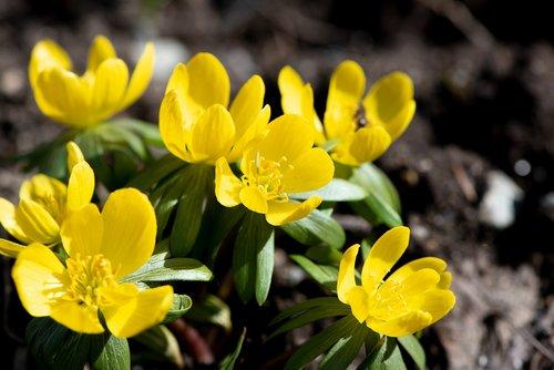 winter linge  spring  yellow