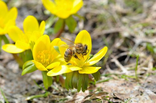 winter linge bee insect