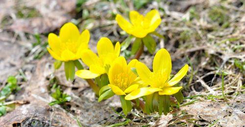 winter linge flowers blossom