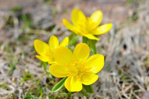 winter linge flower blossom