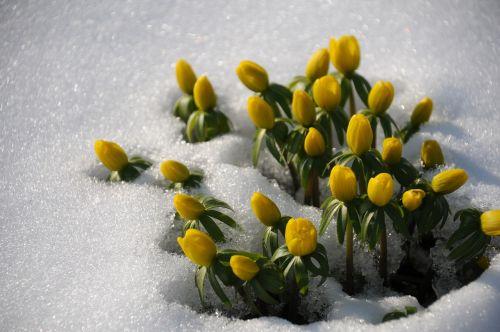 winter linge frühlingsblüher snow