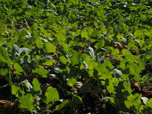 winter oilseed rape green manure oilseed rape