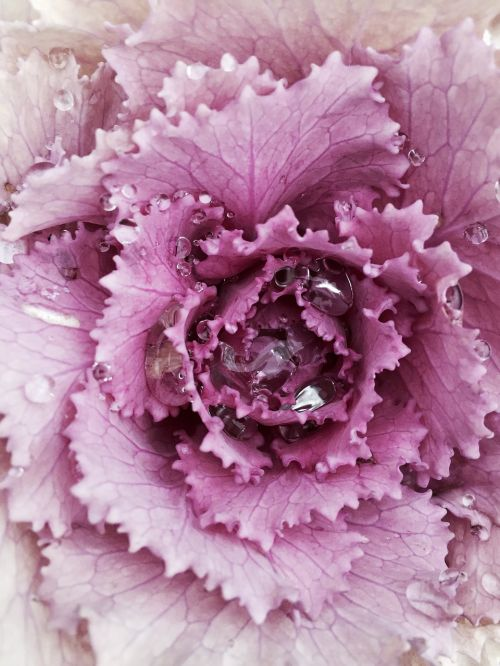 winterkohl kohl ornamental cabbage