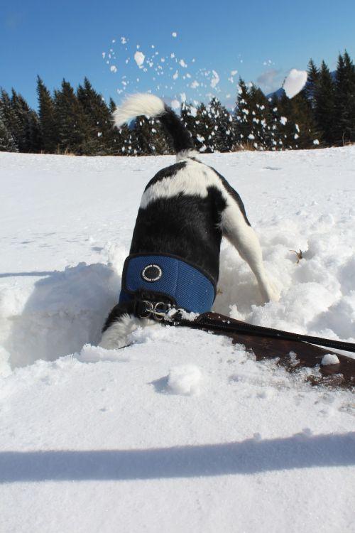 wintry snow dog
