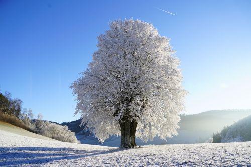 wintry tree hoarfrost