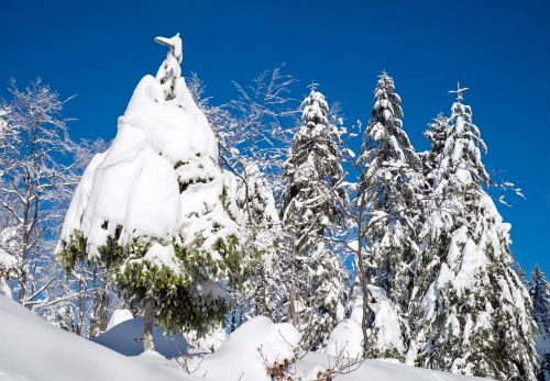 wintry snow firs