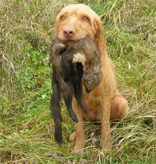wirehaired vizsla retriever dog