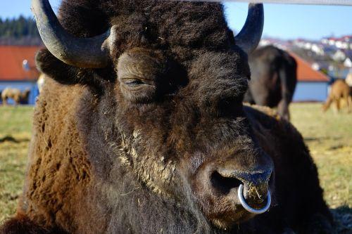 wisent european bison bison
