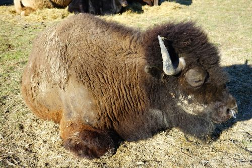 wisent young animal european bison