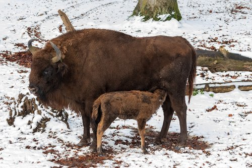 wisent  cow  suckle
