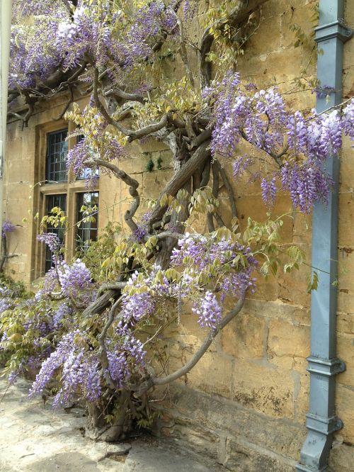 wisteria broadway village life