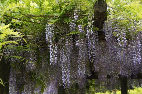 wisteria blue rain close