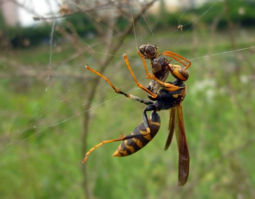 with black paper wasp insects hunt