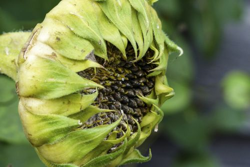 withered sunflower ripe fruit