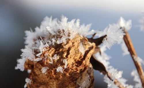 withered bloom frost winter