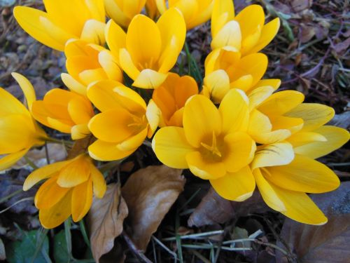 withered foliage yellow crocus harbingers of spring