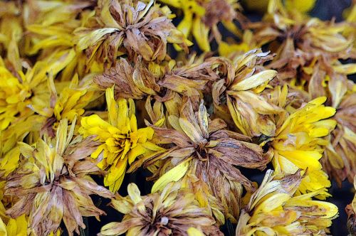 Withering Yellow Mums