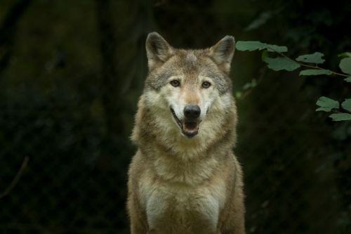 wolf captivity animal