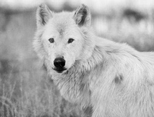 wolf white nature