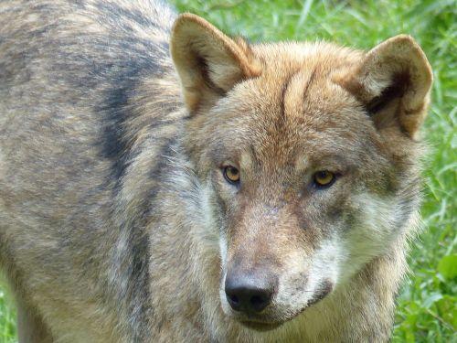wolf animal predator