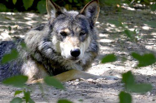 wolf isegrim lauer