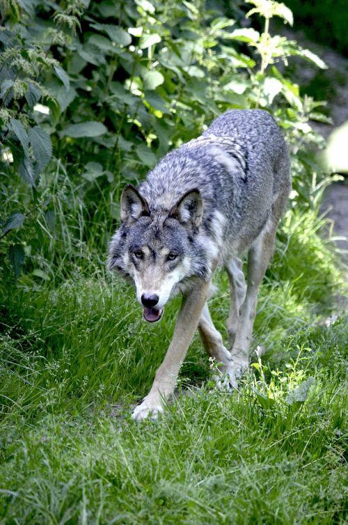 wolf predator wolves