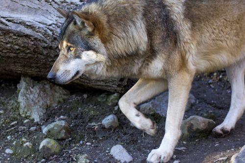 wolf canis lupus predator