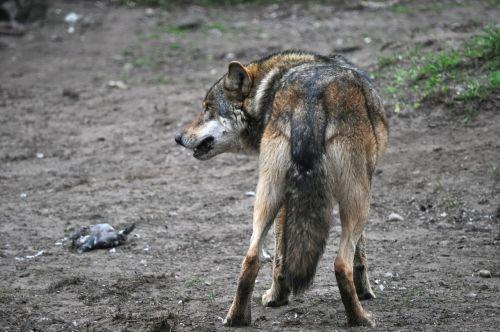 wolf eurasian wolf animal