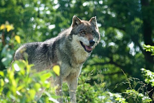 vilkas,zoologijos sodas,zoologijos sodas,zoologijos sodas,gyvūnas,plėšrūnas,gilus n,vltavou,žinduolis,žvėrys