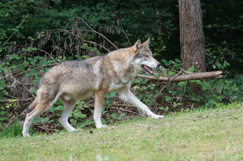 wolf predator european wolf