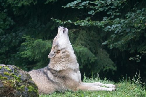 wolf howl wolf howling
