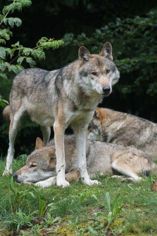 wolf predator leitwolf